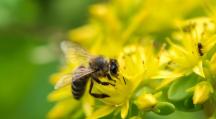 abeille qui butine