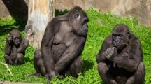 Le mode de vie des singes menacé par l'action de l'Homme