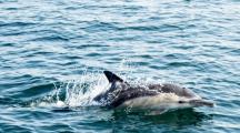 Un dauphin en mer