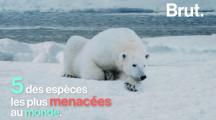 5 espèces menacées de disparition (Vidéo)