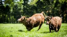 Aux Pays-Bas, un urinoir pour vaches pour réduire les émissions de gaz
