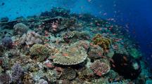 Les coraux les plus au sud du globe touchés par le blanchissement