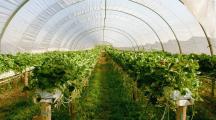 champ de fraisier sous serre