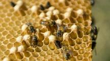 Abeilles et du miel