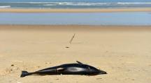 Environ 1.200 dauphins échoués sur la côte atlantique durant l'hiver