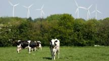 Des éoliennes accusées de tuer des vaches