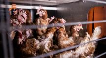 Conditions d'élevage des poules : L214 et 30 millions d'amis portent plainte contre le premier producteur d'oeufs français (Vidéo)