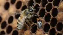 Les abeilles solitaires fabriquent désormais leurs nids avec du plastique