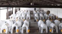 Vidéo : le scandale des veaux laitiers élevés en cage