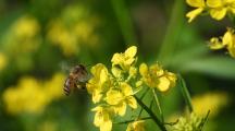 Abeilles : des résidus de néonicotinoïdes retrouvés dans les zones non-traitées