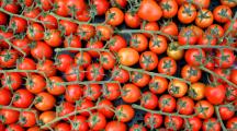 Virus tomates