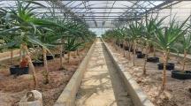 L'aloe arborescens, une plante anti-cancer ?