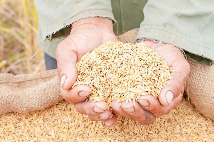 Le riz génétiquement modifié peut-il combattre la malnutrition?