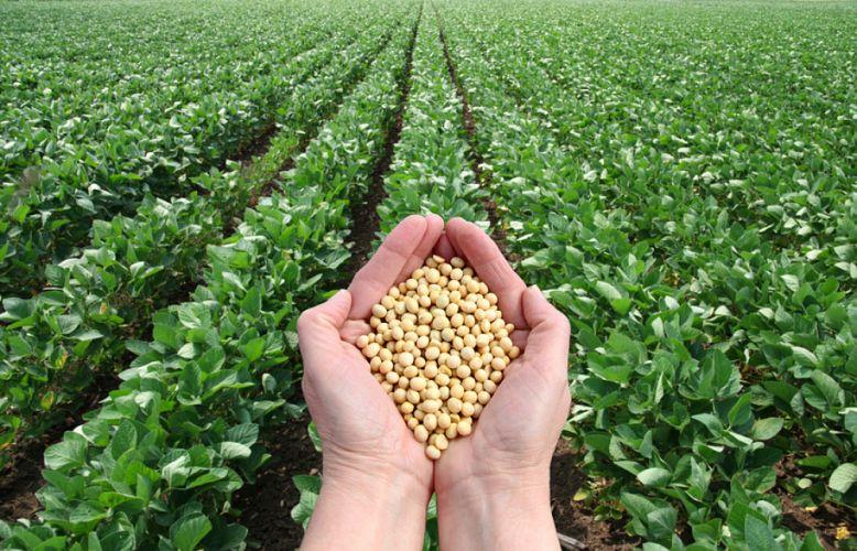 Champs de Soja devant lequel deux mains tiennent une poignée de graines de soja