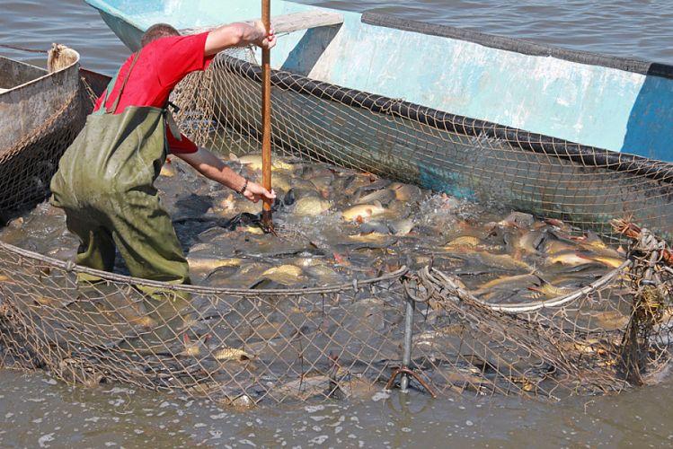 Pêcheur et filet de pêche rempli de poissons dans une eau boueuse
