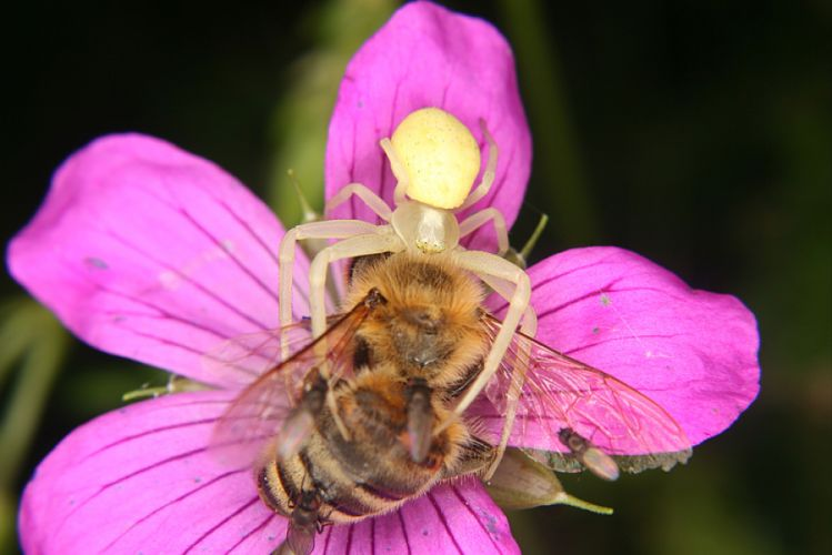 Une araignée prend une abeille pour proie. Elles sont posées sur une fleur mauve