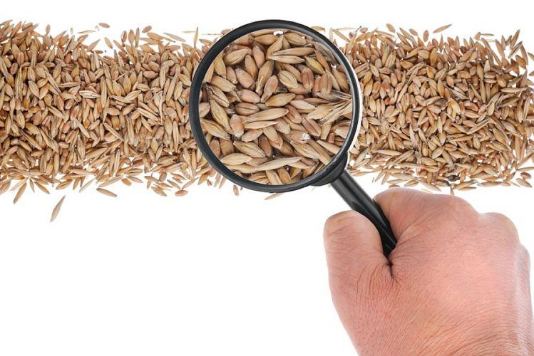 Grains de blé passés à la loupe