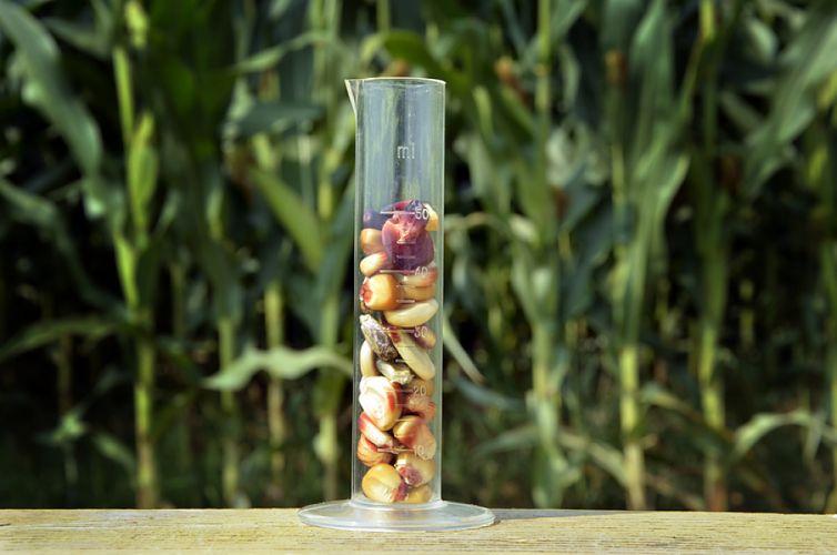 Éprouvette remplie de grains de maïs posée devant un champs de maïs