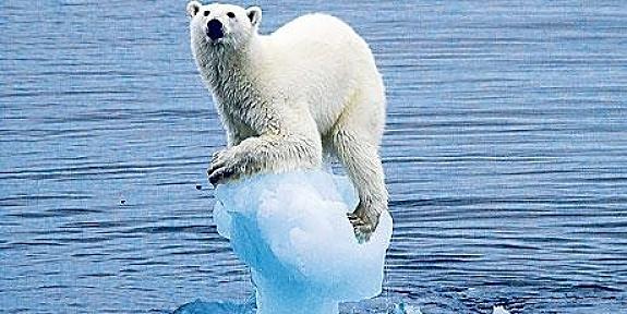 ours polaire sur un minuscule morceau de banquise
