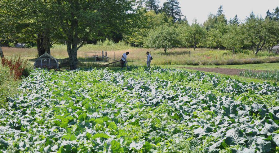 Champ de salades biologiques et agriculteurs