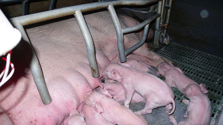 Truie qui allaite dans un élevage intensif