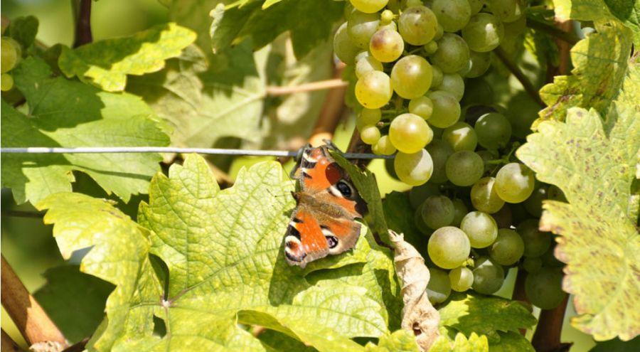Papillon posé sur un pied de vigne