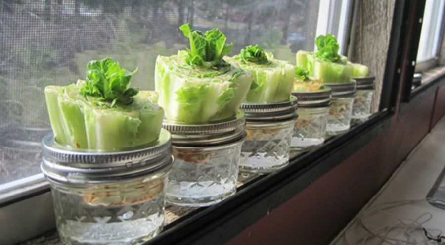 Salade à cultiver chez soi