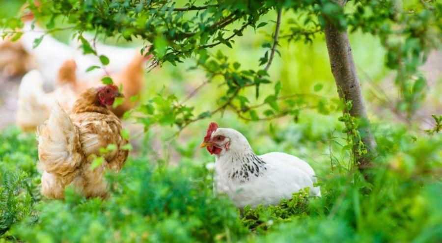 Poulets qui se baladent en pleine nature