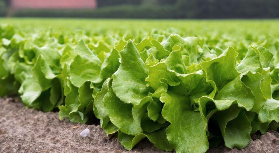Champ de salades à la campagne