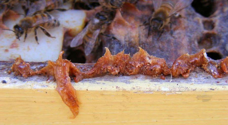 Des abeilles protègent les parois de leur ruche avec la propolis