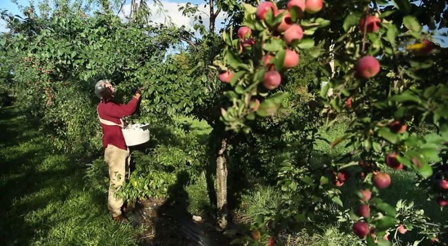 Un marâicher en permaculture, porte dans ses mains des courgettes de son jardin bio.