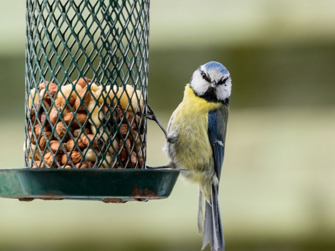 oiseau qui mange des graines suspensu à une mangeoire