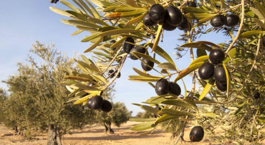 des oliviers dans la campagne crétoise