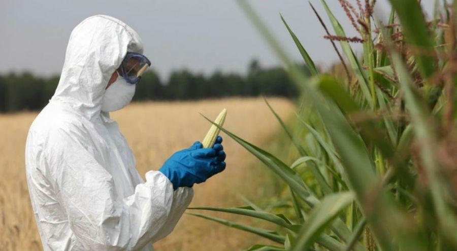 un agriculteur en blouse de protection manipule du maïs transgénique