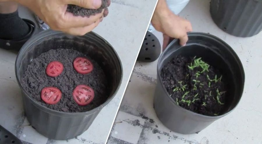 Homme mettant des rondelles de tomates dans un seau de terreau