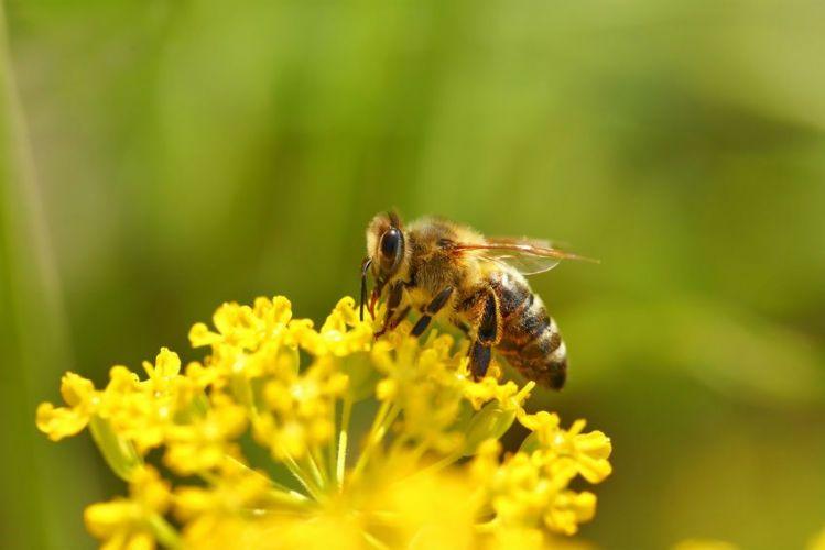 Une abeille en train de polliniser une fleur
