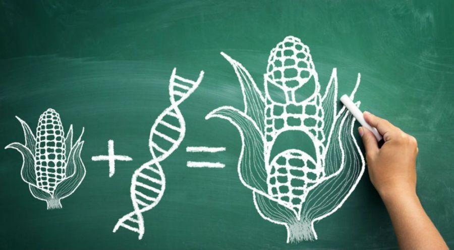 un tableau vert surlequel quelqu'un a dessiné un maïs, un brin d'ADN et un maïs muté