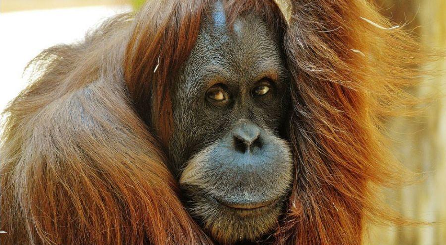 L'orang-outan disparaîtrait d'ici 10 ans à cause de l'huile de palme