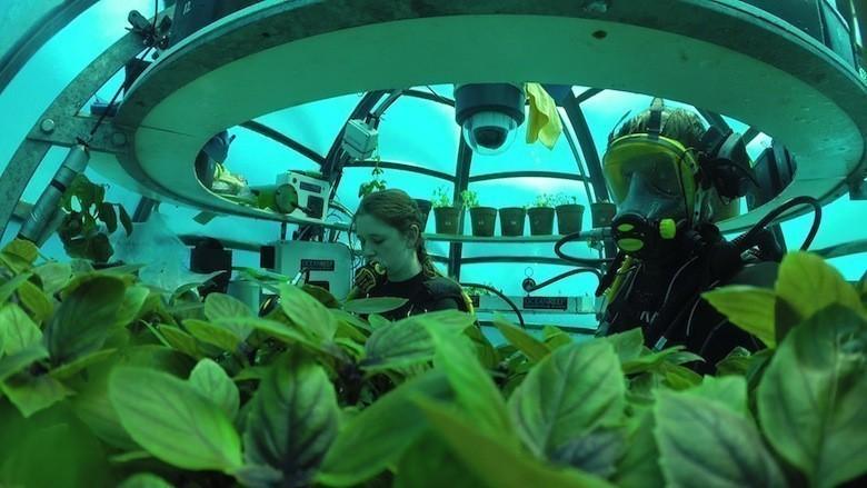 des plongeurs surveillent les plantations de légumes sous l'eau