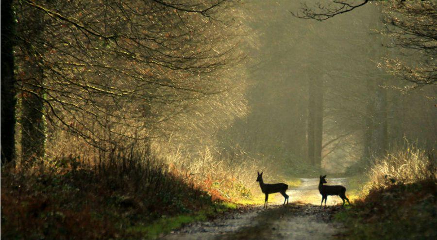 deux chevreuils dans la forêt