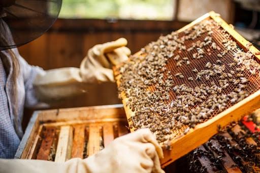 un apiculteur qui regarde des abeilles dans une ruche