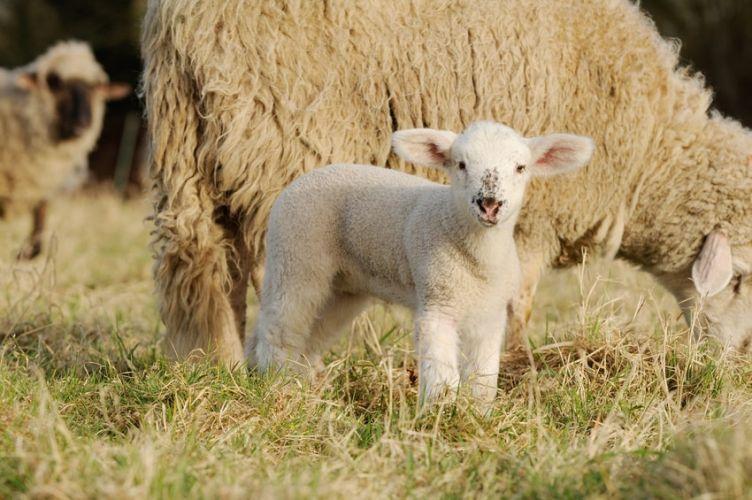 un agneau près de sa mère