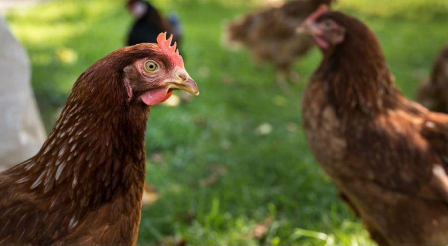 des poules en plein air