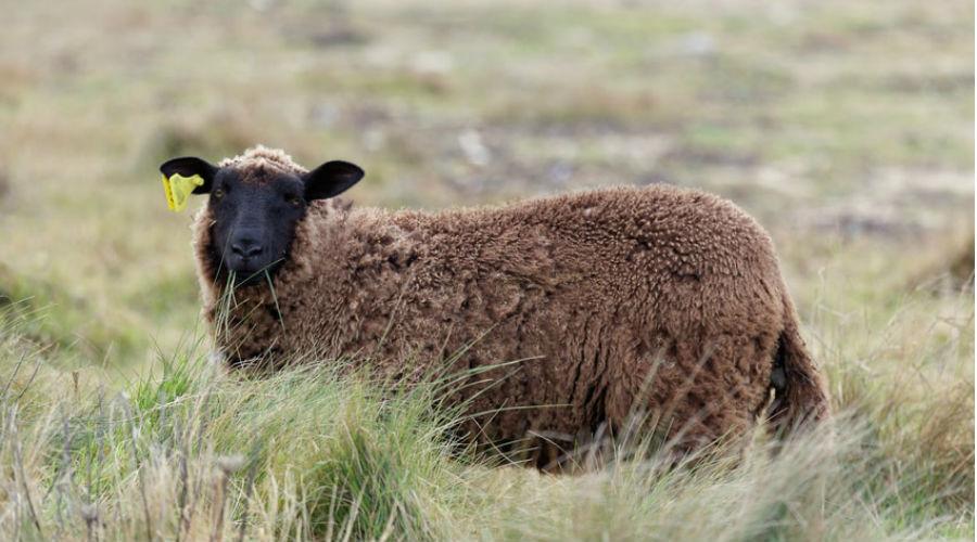 un mouton noir d'Ouessant dans un pâturage