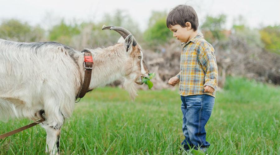 un enfant donne à manger à une chèvre