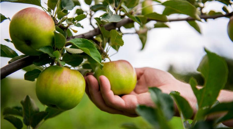 une main cueille une pomme