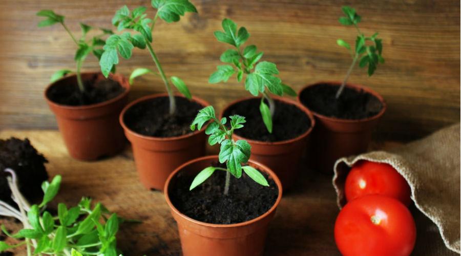 des tomates plantées en pot