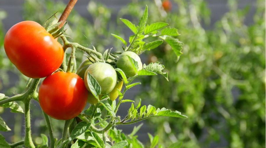 tomates bio cultivés au soleil