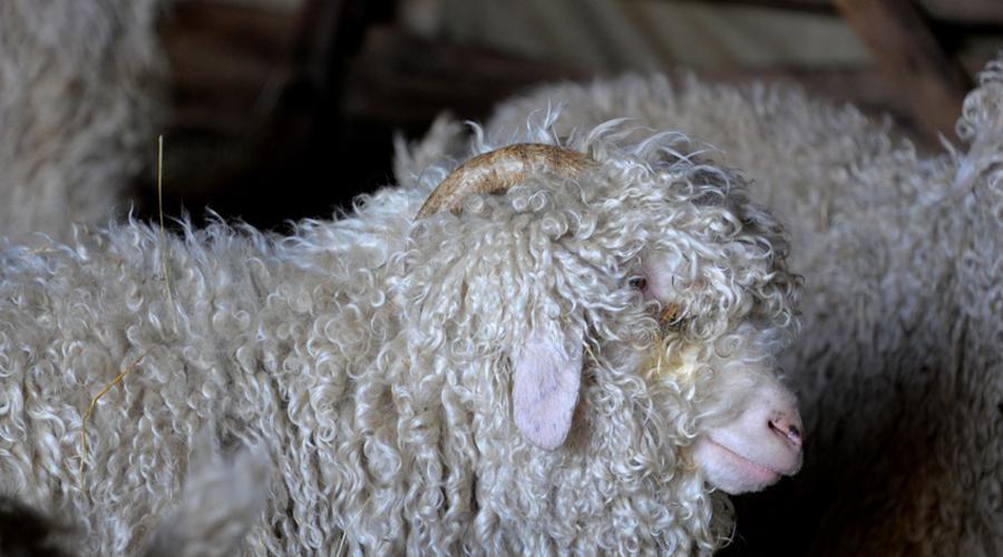 chèvre Angora laine mohair