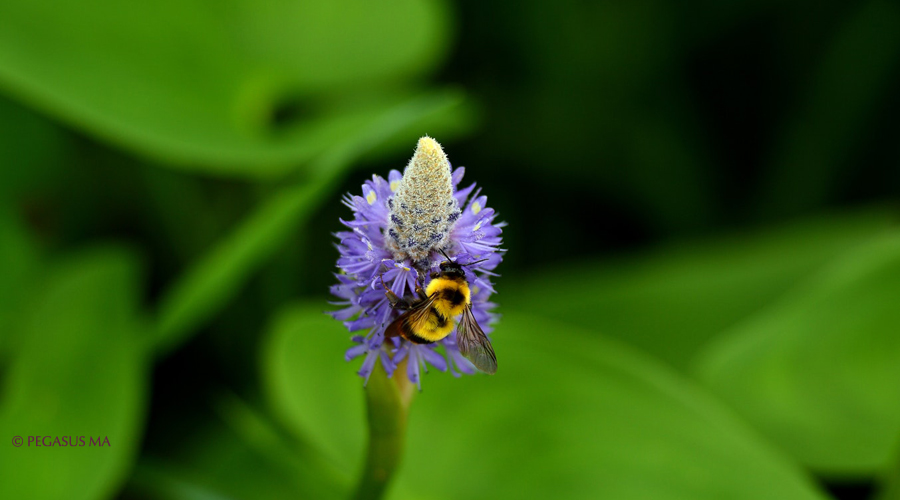 abeille polinise fleur